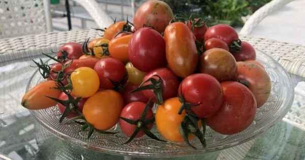 Characteristic Tomato Orange Elephant