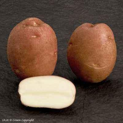 Characteristic varieties of potato Romano