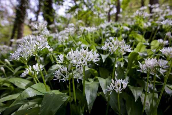 Characteristic Wild Wild Garlic