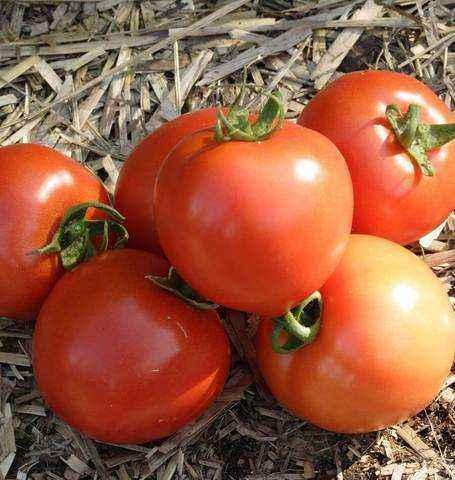 Characteristics and description of tomato varieties White Bulk