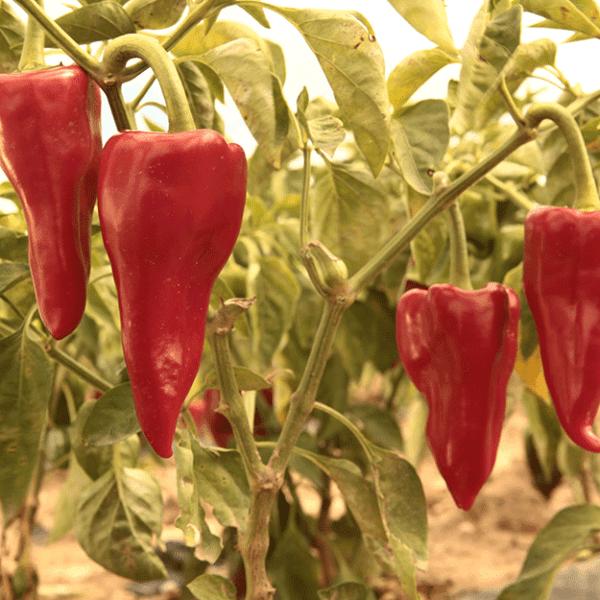 Characteristics of Aden pepper