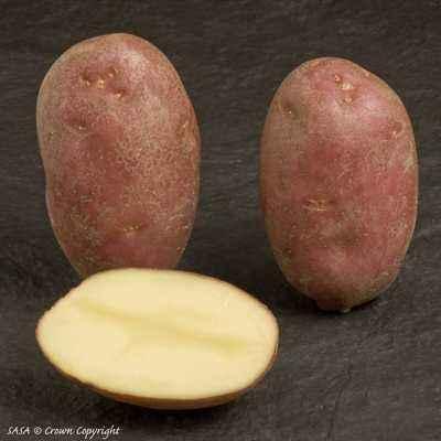 Characteristics of Asterix potatoes