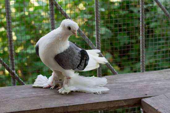 Characteristics of Baku pigeons