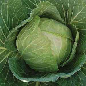 Characteristics of cabbage cultivar Mirror F1