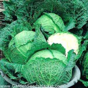 Characteristics of cabbage varieties Cossack