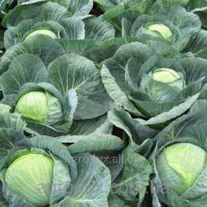 Characteristics of Centurion f1 cabbage