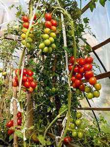 Characteristics of Cherry Ira f1 tomatoes