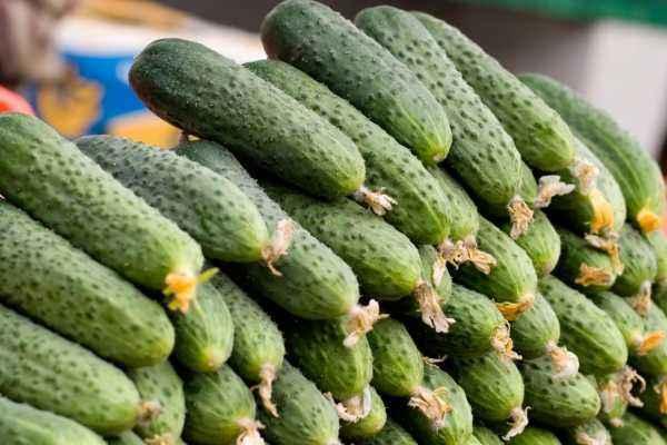 Characteristics of cucumber cultivar Amur f1