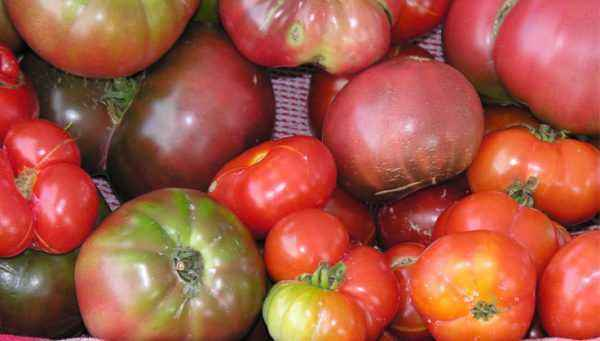 Characteristics of dwarf varieties of tomatoes