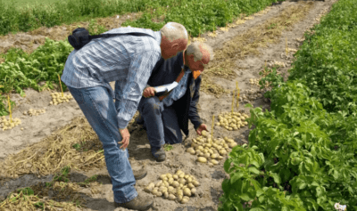 Characteristics of Farmer Potatoes