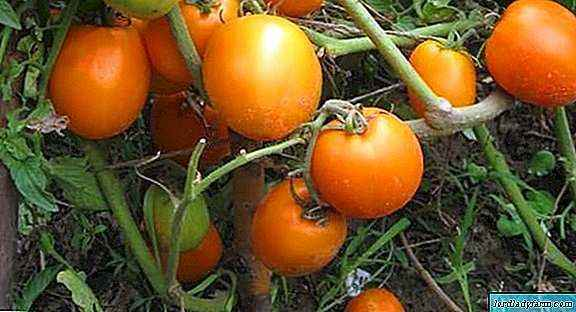 Characteristics of Golden Kenigsberg Tomatoes