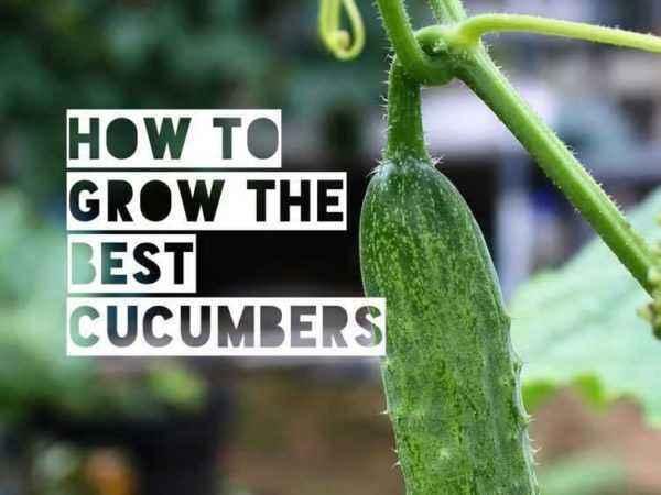 Characteristics of Graceful Cucumbers