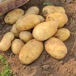 Characteristics of Jelly Potato