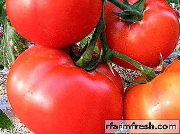 Characteristics of King of Giants Tomatoes