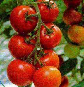 Characteristics of Klush tomato