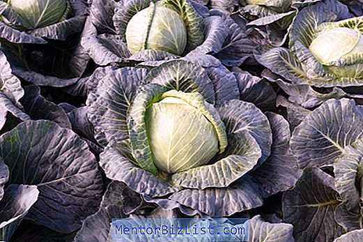 Characteristics of Krautman Cabbage