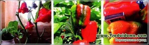 Characteristics of Kubyshka pepper