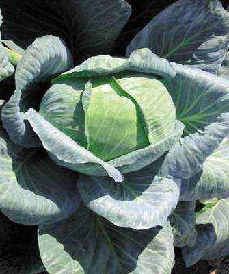 Characteristics of Larsia f1 cabbage