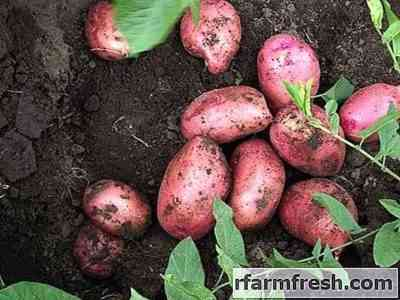 Characteristics of Lyubava potatoes