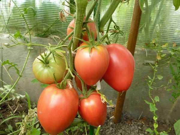 Characteristics of Mazarini Tomatoes