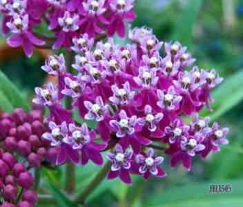 Characteristics of milkweed garden