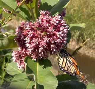 Characteristics of milkweed