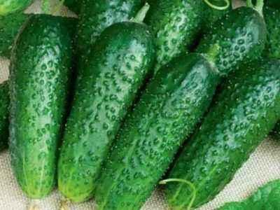 Characteristics of Monastyrsky cucumbers
