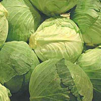Characteristics of Muksuma Cabbage