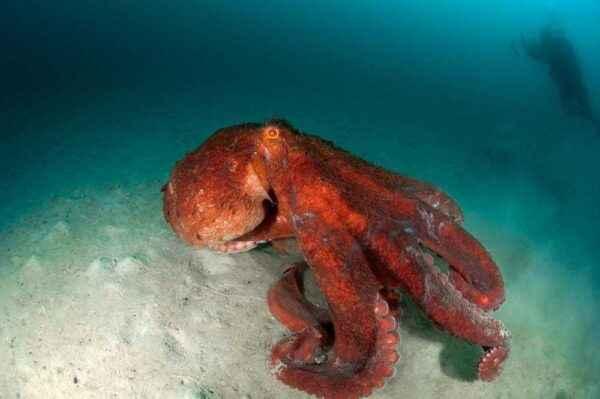 Characteristics of Octopus cucumbers