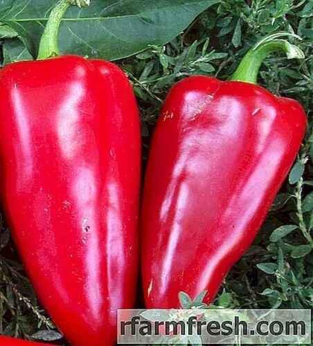 Characteristics of Pepper Bogatyr