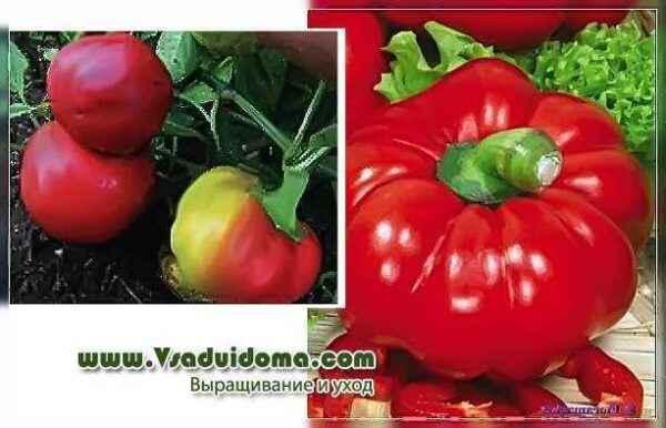 Characteristics of pepper varieties Gogoshara