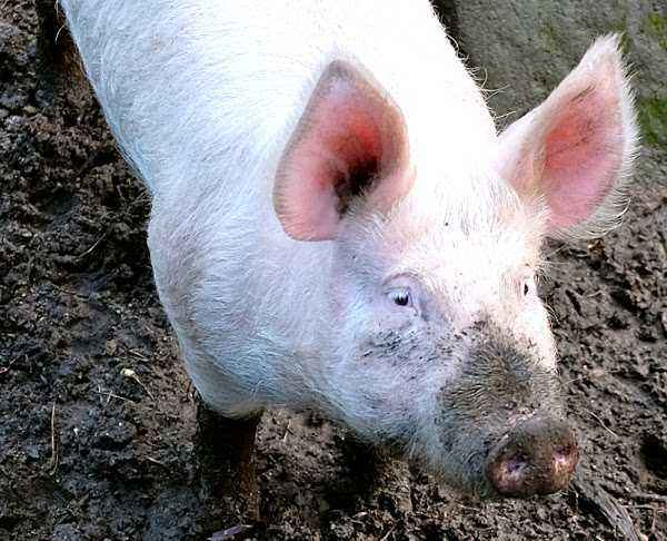 Characteristics of pigs breed Large White
