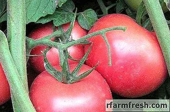 Characteristics of Pink Bush Variety Tomato