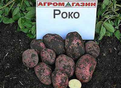 Characteristics of potato varieties Ivan Da Marya