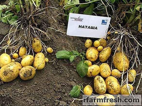 Characteristics of potato varieties Natasha
