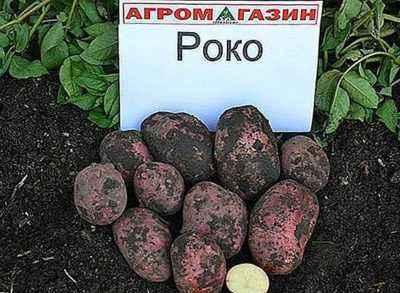 Characteristics of Potato Varieties Vector