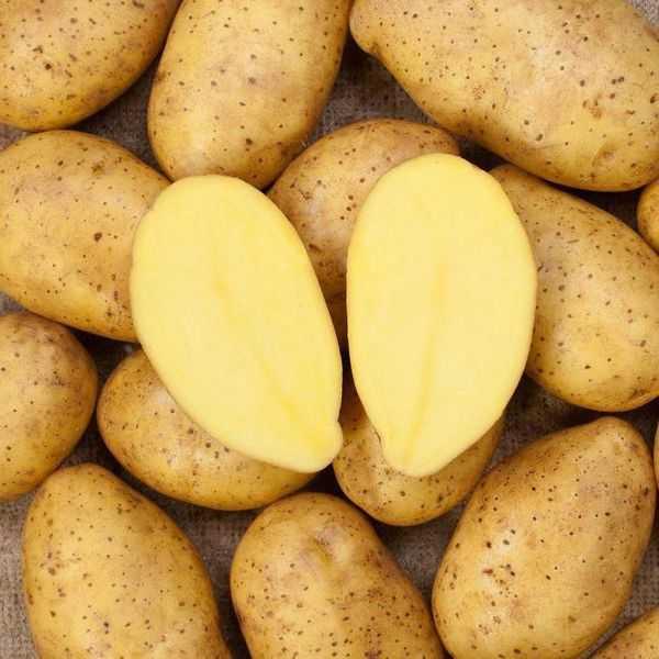 Characteristics of potato varieties Zekura