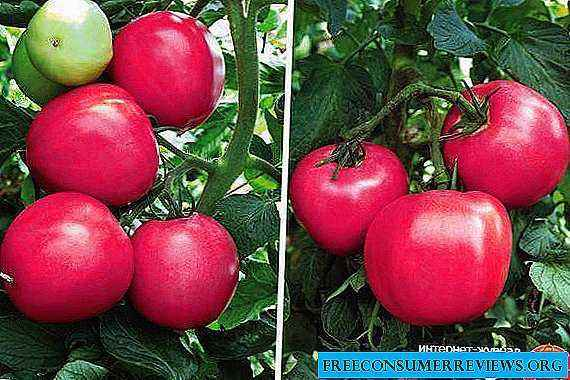 Characteristics of Raspberry Miracle Tomatoes