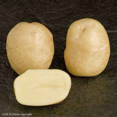 Characteristics of Sante Potatoes