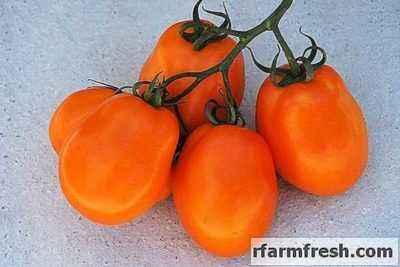Characteristics of South Zagar Tomatoes