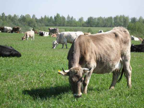 Characteristics of the Kostroma breed of cows