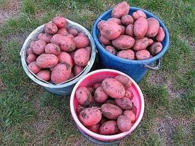 Characteristics of the potato variety Alladin
