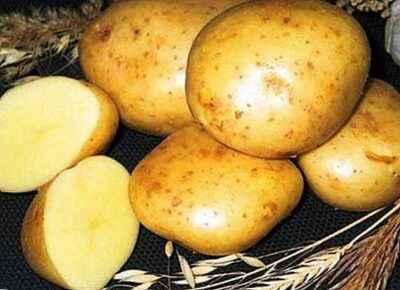 Characteristics of the potato variety Irbitsky
