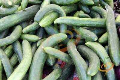 Characteristics of the variety cucumbers