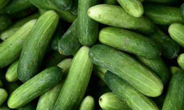 Characteristics of the variety of cucumbers Claudine
