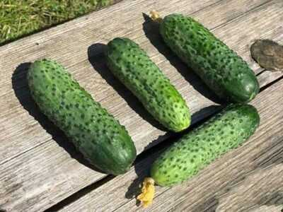 Characteristics of the variety of cucumbers Furor