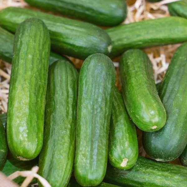 Characteristics of the variety of cucumbers Grasshopper