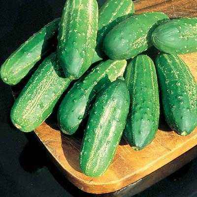 Characteristics of the variety of cucumbers Libelle F1