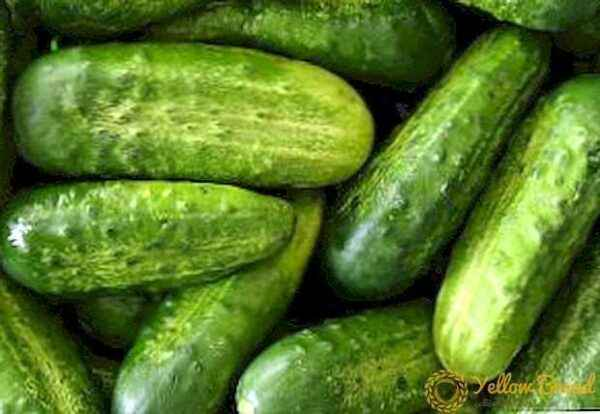 Characteristics of the variety of Ging cucumbers