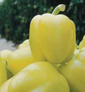 Characteristics of the variety of pepper Blondi F1